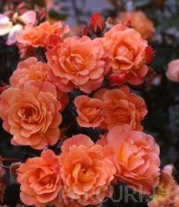poza Trandafiri agatatori urcatori cu radacina Orange