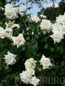 poza TRANDAFIRI URCATORI h=2.5 m, flori albe, ghiv 5litri