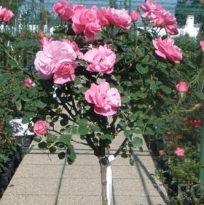 poza Trandafiri de gradina pe trunchi la ghiveci