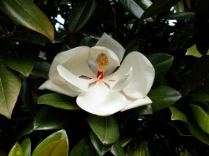 poza Magnolia parfumata de vara MAGNOLIA GRANDIFLORA GALLISSONIENSISghiveci 30litri h=125-150 cm (ramificata)