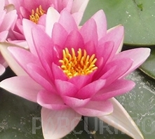 poza Plante acvatice, Nymphaea attraction (nufar)
