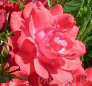 poza Trandafiri pitici de gradina, Limesglut (roz), plante in ghiveci de 2 litri