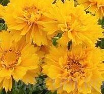 poza Flori de gradina perene COREOPSIS/ COREOPSIS GRANDIFLORA 'EARLY SUNRISE'
