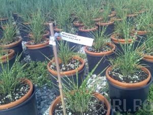 poza Ierburi graminee Miscanthus sinensis Gold Bar, la ghiveci de 3 litru