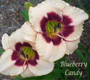 poza Flori perene HEMEROCALIS Blueberry Candy ghivece de 3 litri