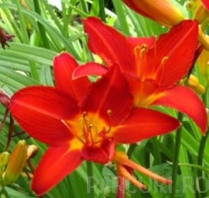 poza Flori perene HEMEROCALIS Campfire Ambers ghivece de 3 litri