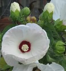 poza Flori perene Hibiscus Old Yella nalba, ghivece de 3 litri