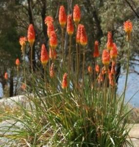 poza Flori perene Kniphofia uvaria , ghivece de 3 litri