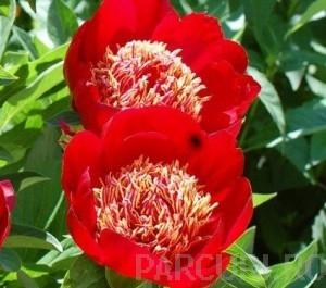 poza Bujor Paeonia lactiflora Charles Burgess  ghiveci 3-4 litri