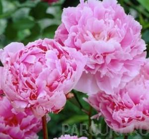 poza Bujor Paeonia lactiflora Sarah Bernhardt  ghiveci 3-4 litri
