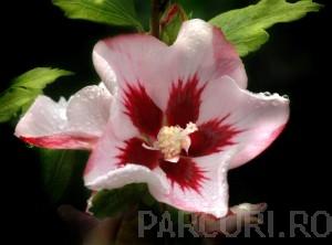 poza Arbusti de HIBISCUS SYRIACUS Hamabo cu, ghiveci 5 litri, h=50-60 cm