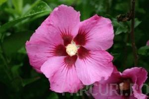 poza Arbusti de HIBISCUS SYRIACUS Woodbridge cu flori simple, ghiveci 5 litri, h=40-60 cm