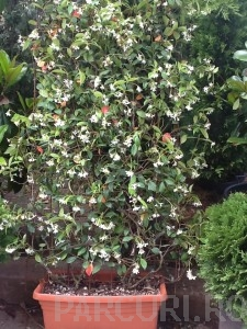 poza Planta parfumata cataratoare Rhinocospermum jasminoides (jasminum) jardiniera 40 cm/ 28 cm , h =175/200 cm