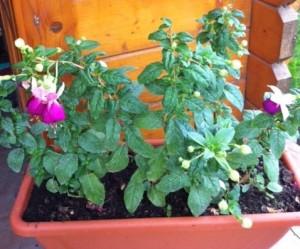 poza Jardiniera plastic 40 cm cu flori cercelusi / muscate / petunii