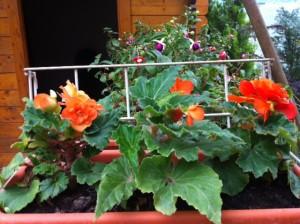 poza Jardiniera maro plastic 40 cm cu flori cercelusi / muscate / petunii