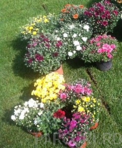 poza Flori de gradina perene CHRYSANTHEMUM mixta/CRIZANTEMA culori diferite