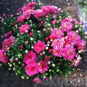 poza Flori de gradina perene CHRYSANTHEMUM BRANOPAL PURPLE/CRIZANTEMA
