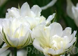 poza Bulbi de lalele flori duble timpurii, Mondial, 5 BUC./Punga, flori duble, albe