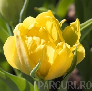 poza Bulbi de lalele Monte Carlo, 5 BUC./Punga, flori duble, galbene