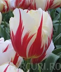 poza Bulbi de lalele Triumph, Carnaval de Rio, 7 BUC./Punga, flori duble, alb cu rosu
