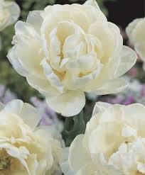 poza Bulbi de lalele Duble tarzii, Mount Tacoma , 7buc/punga flori albe, batute