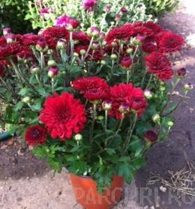 poza Flori de gradina perene CHRYSANTHEMUM /CRIZANTEMA culoare rosie