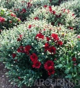poza Flori de gradina perene CRIZANTEMA LA GHIVECI MARE/CRIZANTEME CULOARE ROSIE