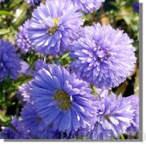 poza Flori de gradina perene Aster Novi-Belgii Marie Ballard (aster, steluta, ochiul boului de munte)