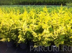 poza Arbori rasinosi CUPRESOCYPARIS LEYLANDII GOLD RIDER ghiveci 5 litri, h=80-100 CM