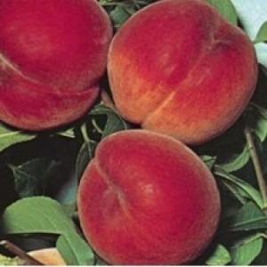 poza Piersic soiul Dixired la ghiveci. Pomi puieti fructiferi altoiti.