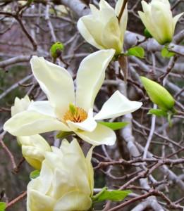 poza MAGNOLIA ELIZABETH (magnolia cu flori galbene) ghiveci 3 litri, h= 30-40 cm