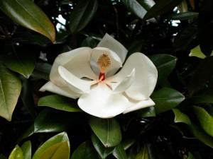 poza Magnolia parfumata de vara MAGNOLIA GRANDIFLORA GALLISSONIENSISghiveci 1 litru h=40-50 cm