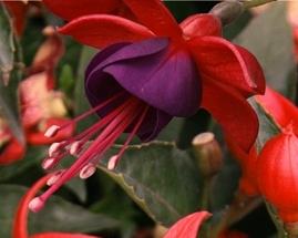 poza Fuchsia hybrida JT Colmar cercelus semicurgator la ghiveci de 12cm