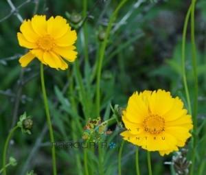poza Flori de gradina perene COREOPSIS/ COREOPSIS 'SINGLE GOLD'
