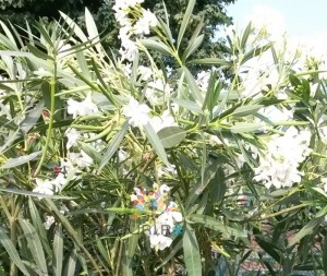 poza Plante de balcon NERIUM OLEANDER (leandru roz) ghiveci 18/24  litri h=120-140 cm