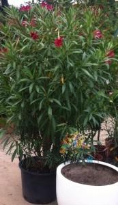 poza Plante de balcon NERIUM OLEANDER (leandru roz) ghiveci 30 litri litri h=150-175  cm