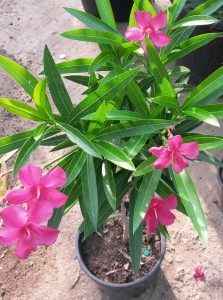 poza Plante de balcon NERIUM OLEANDER (leandru roz) ghiveci 5 litri h=80-90 cm