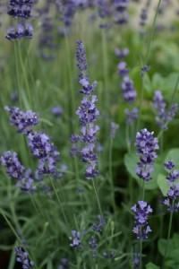 poza Flori perene LEVANTICA / LAVANDULA ANGUSTIFOLIA BLUE in ghiveci 9x9  cm