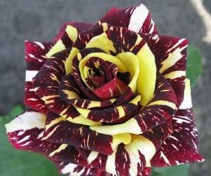 poza Trandafiri de gradina cu radacina `Hocus-Pocus`