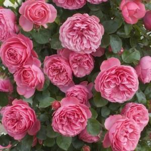 poza Nou!! Butasi de trandafiri de gradina Polyantha soiul 'Leonardo Da Vinci'