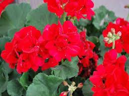poza Plante de balcon muscate Pelargonium zonale Cherry red, rosu cireasa, ghiv 10 cm