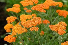 poza Flori perene Achillea Walter Funcke, cul. portocalie, ghiv. 14 cm