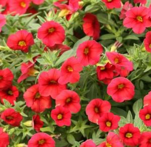 poza Plante de balcon petunii curgatoare cu flori mari rosii Petunia hybrida pendula