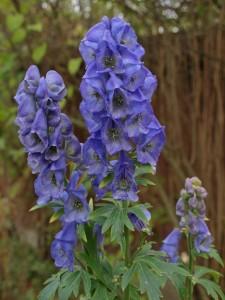 poza Flori perene Aconitum carmichaelli Arendsii, fl culoare albastra, ghiv. 15 cm