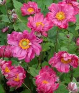 poza Flori perene Anemone hybrida Rotkappchen, cul. rosie