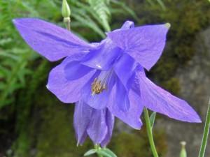 poza Flori de gradina perene Aquilegia alpina Blue, culoare albastru