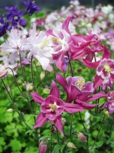 poza Flori de gradina perene Aquilegia Biedermeier, soiuri mixte