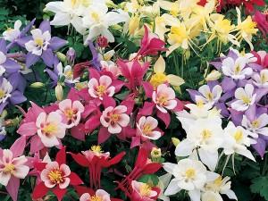 poza Flori de gradina perene CALDARUSA /Aquilegia caerulea mix, soiuri mixte