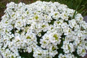 poza Flori de gradina perene Arabis caucasica Snowcap, flori albe, ghiv 11 cm