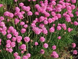 poza Flori de gradina perene Armeria maritima Spendens, cuoare. roz